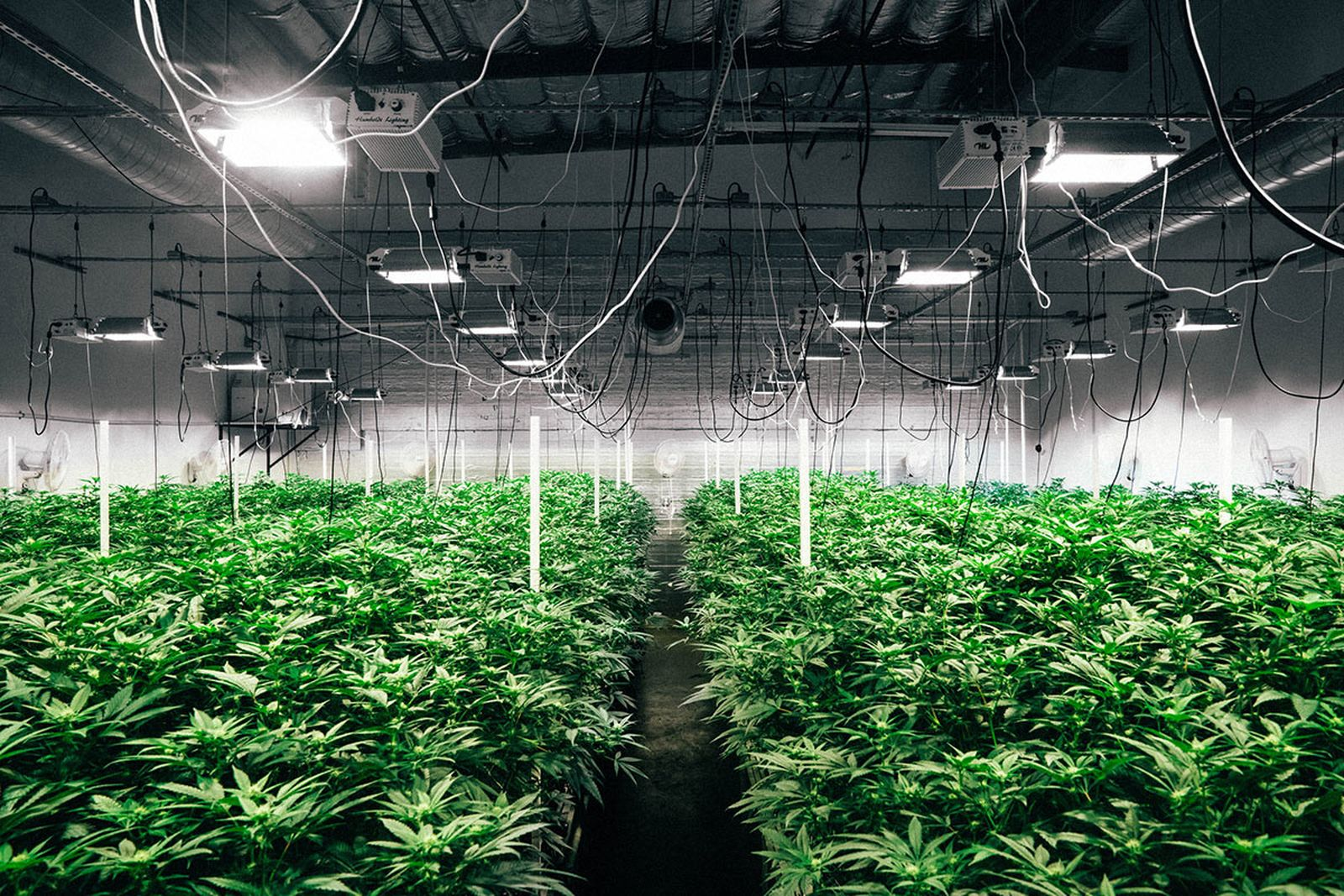 counterfeit cannabis need know billion dollar market MedMen Sherbinskis marijuana
