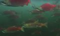 Patagonia Fights to Save Wild Fish With 'Artifishal' Film