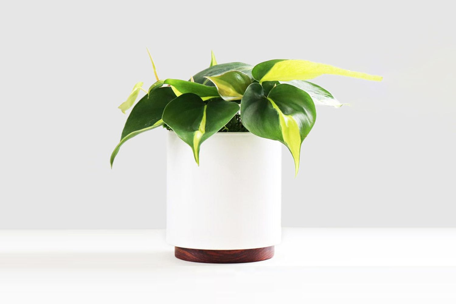 Philodendron Brasil With Ceramic Pot & Wood Plinth