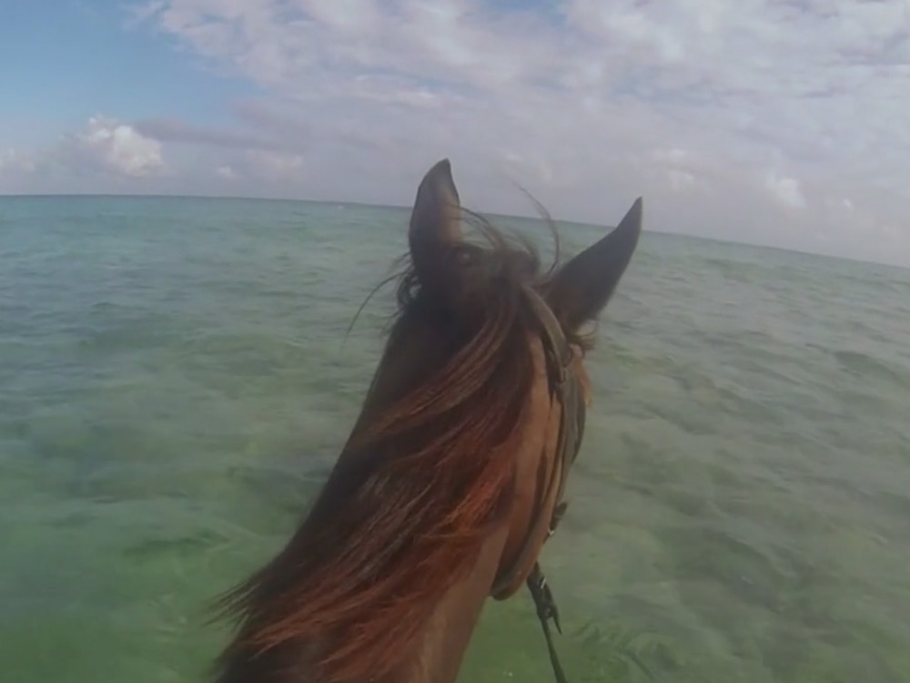 jamaican-swimming-horses-video-2014-01
